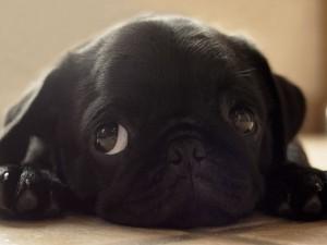 Сколько стоит щенок мопса
