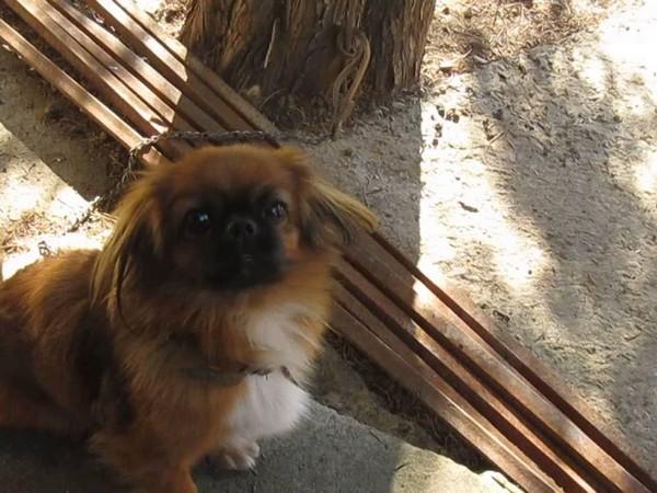 Фотогалерея уход и содержание собак породы пекинес фото - 7