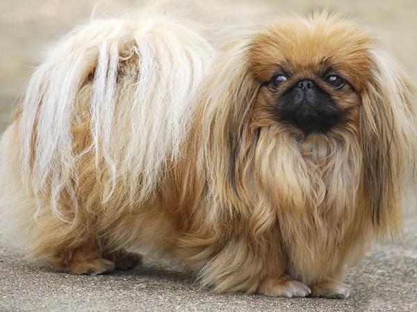 Фотогалерея уход и содержание собак породы пекинес фото - 8