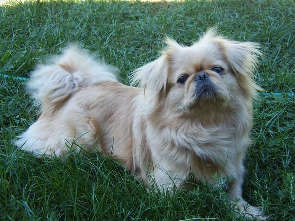 Фотогалерея уход и содержание собак породы пекинес фото - 9