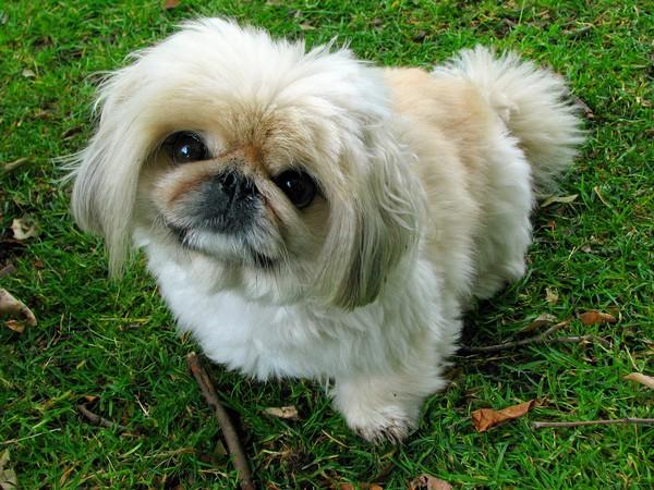 Фотогалерея уход и содержание собак породы пекинес фото - 11
