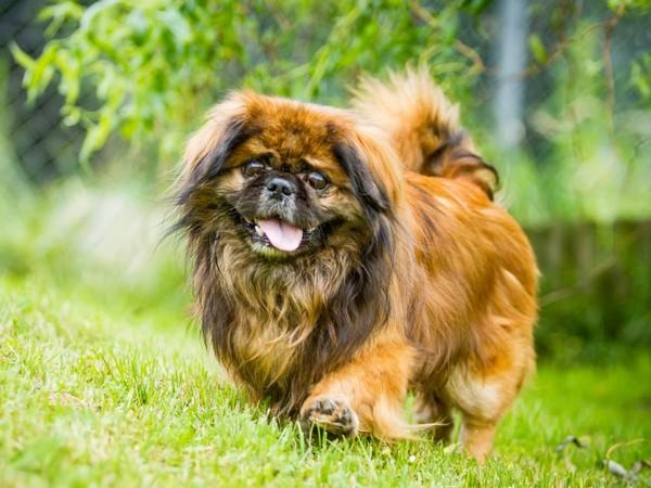 Фотогалерея уход и содержание собак породы пекинес фото - 12