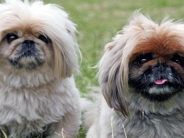 Фотогалерея уход и содержание собак породы пекинес фото - 14
