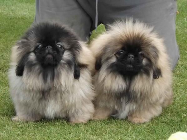 Фотогалерея уход и содержание собак породы пекинес фото - 4