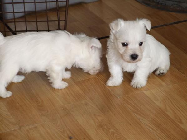 Фотогалерея щенки вест хайленд уайт терьера фото - 3
