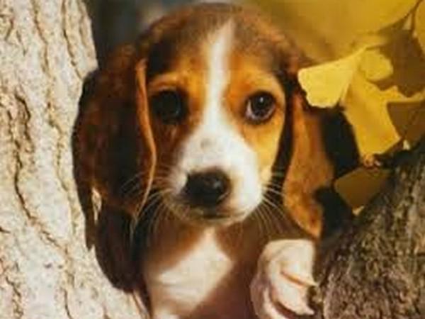 Фотогалерея харктер собаки бигль фото - 5