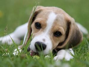 Адаптацию щенка необходимо начинать пораньше