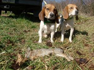 Охотничья собака бигль