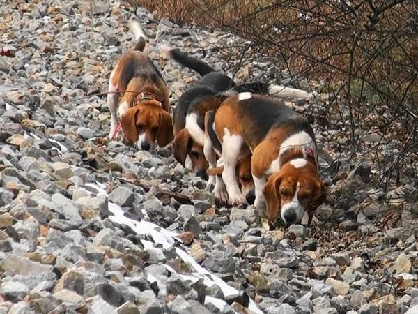 Фотогалерея бигль охотничья гончая собака фото - 7