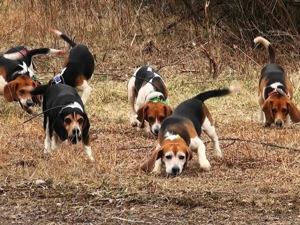 Фотогалерея бигль охотничья гончая собака фото - 8