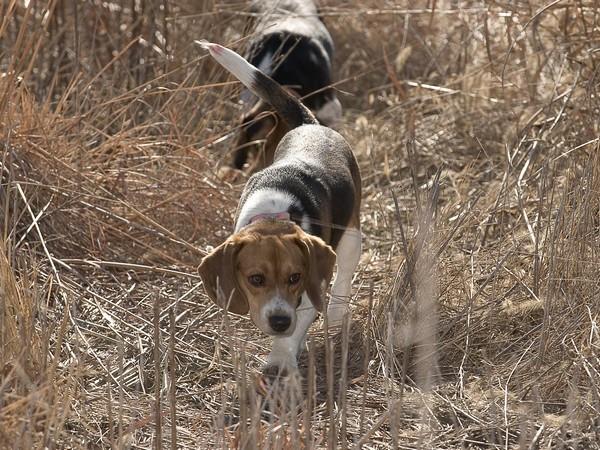 Фотогалерея бигль охотничья гончая собака фото - 9