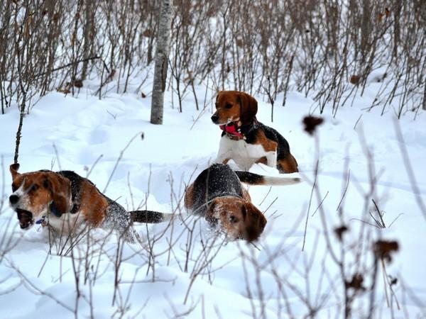 Фотогалерея бигль охотничья гончая собака фото - 1