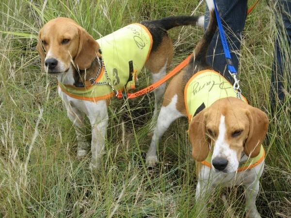 Фотогалерея бигль охотничья гончая собака фото - 2