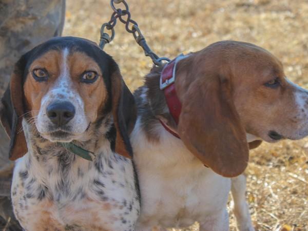 Фотогалерея бигль охотничья гончая собака фото - 3