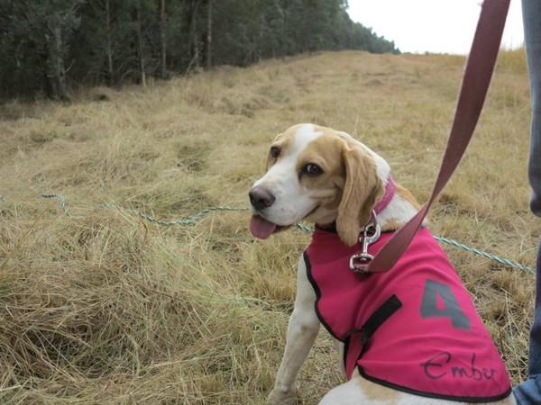 Фотогалерея бигль охотничья гончая собака фото - 4