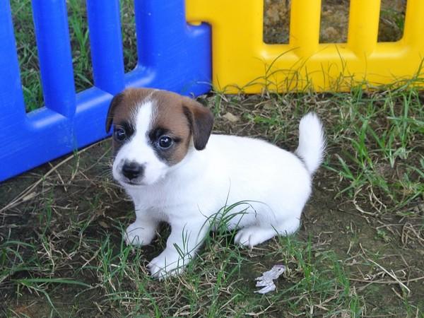 Фотогаалерея щенки джек рассел терьера фото - 8