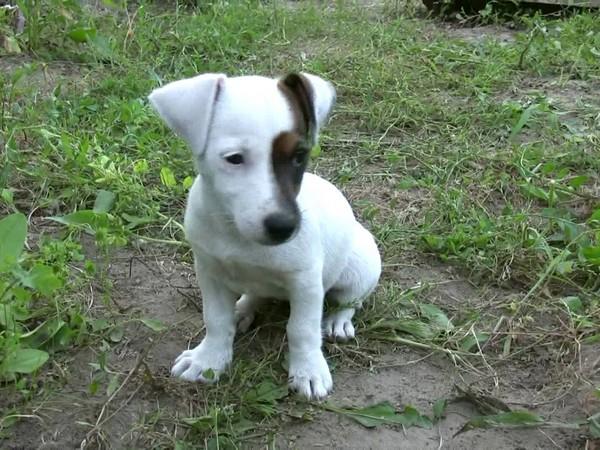 Фотогаалерея щенки джек рассел терьера фото - 12