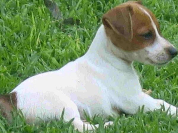 Фотогаалерея щенки джек рассел терьера фото - 3
