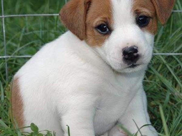 Фотогаалерея щенки джек рассел терьера фото - 6