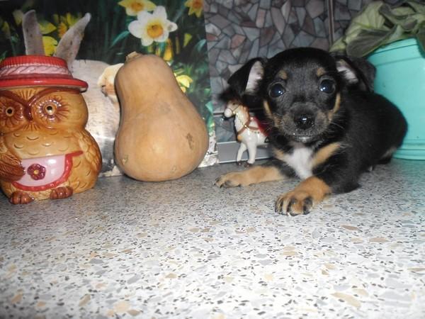 Фотогалерея щенков той терьера фото - 2