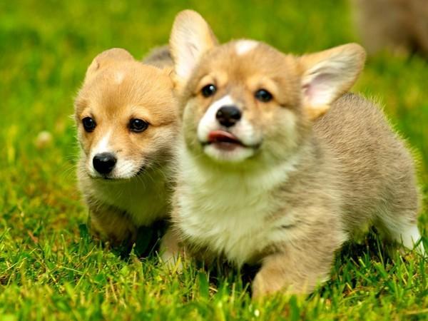 Фотогалерея щенки вельш корги фото - 1