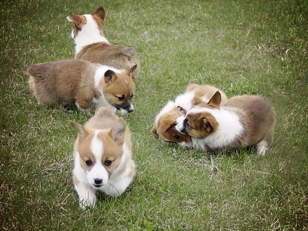 Фотогалерея щенки вельш корги фото - 2