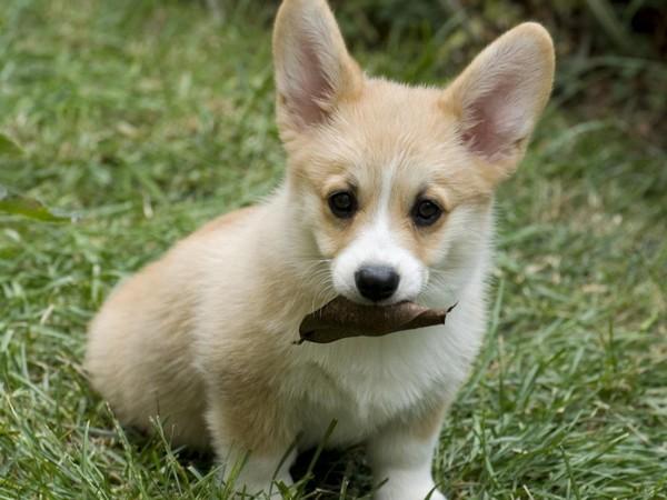 Фотогалерея щенки вельш корги фото - 3