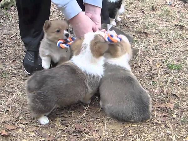 Фотогалерея щенки вельш корги фото - 4