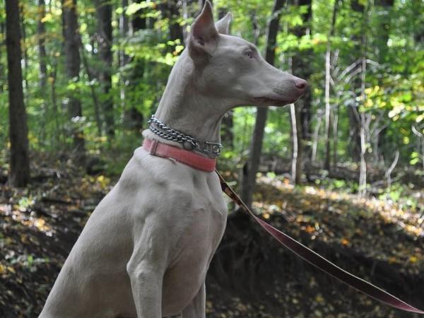 Доберман собака «голубых кровей» фотогалерея - фото 12