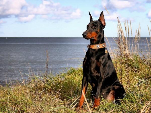 Доберман собака «голубых кровей» фотогалерея - фото 8