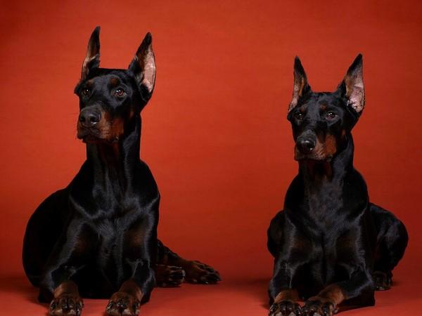 Доберман собака «голубых кровей» фотогалерея - фото 9