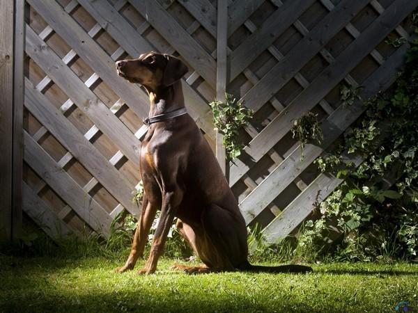 Доберман собака «голубых кровей» фотогалерея - фото 10