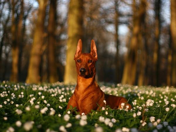 Доберман собака «голубых кровей» фотогалерея - фото 1