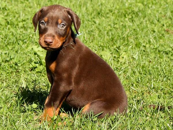 Доберман собака «голубых кровей» фотогалерея - фото 3