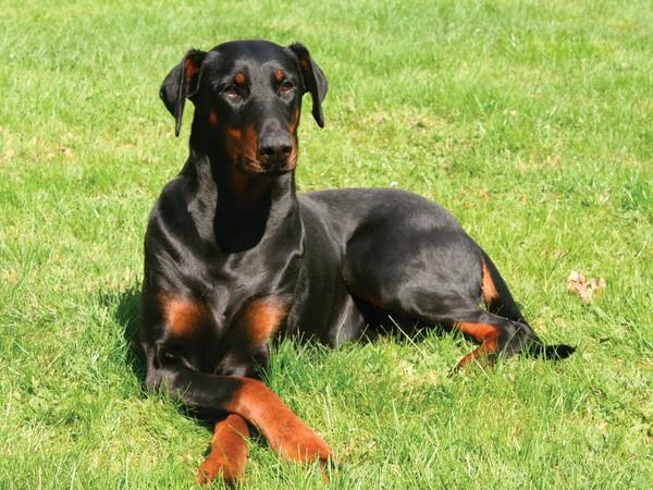 Доберман собака «голубых кровей» фотогалерея - фото 4
