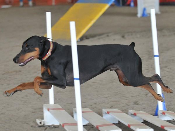 Доберман собака «голубых кровей» фотогалерея - фото 6