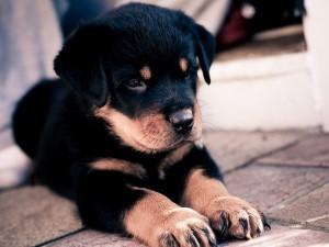 Доберман и ротвейлер, сторожевые псы