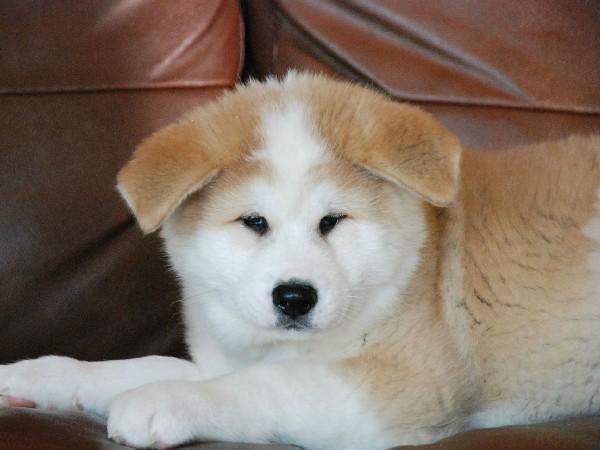 Фотогалерея щенки хатико фото - 4