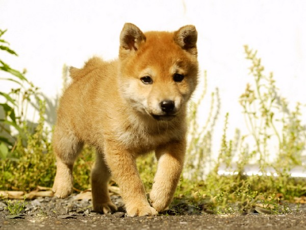 Фотогалерея щенки хатико фото - 7
