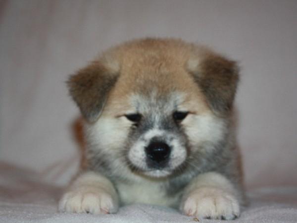 Фотогалерея щенки хатико фото - 8