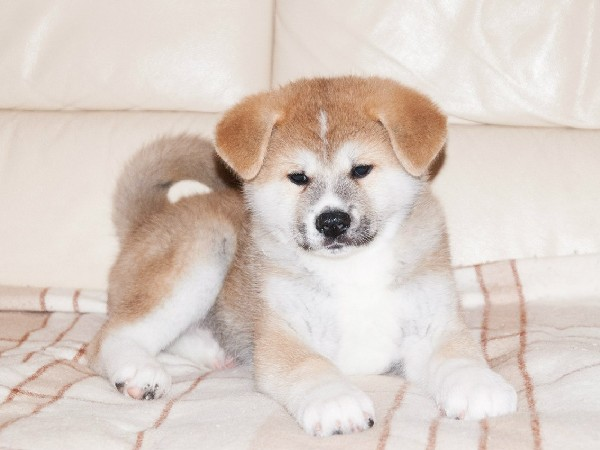 Фотогалерея щенки хатико фото - 5