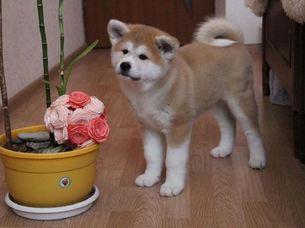 Фотогалерея щенки хатико фото - 1