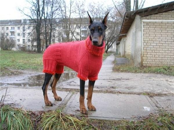 Фотогалерея одежда для добермана фото - 3