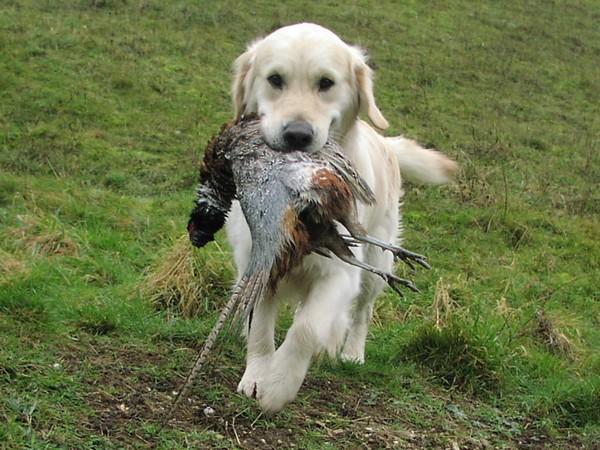 Фотогалерея лабрадор прекрасный охотник на птиц фото - 6