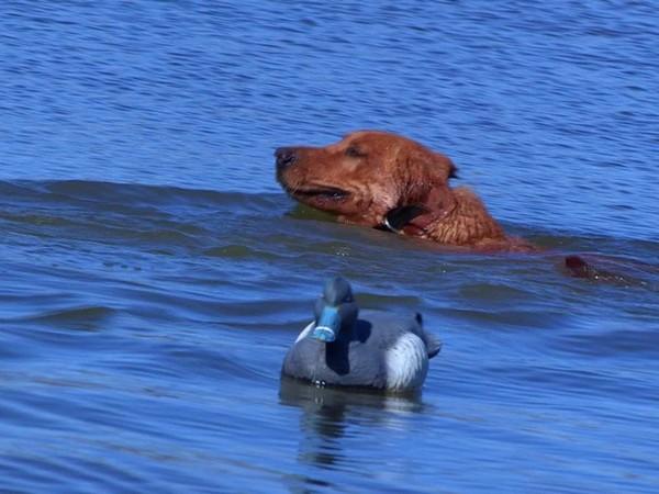 Фотогалерея лабрадор прекрасный охотник на птиц фото - 8