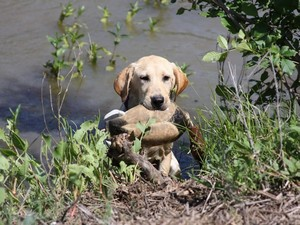 Как воспитать охотника