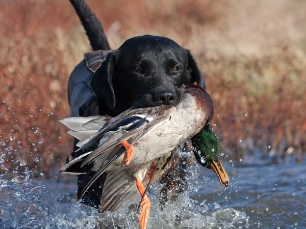 Фотогалерея лабрадор прекрасный охотник на птиц фото - 4