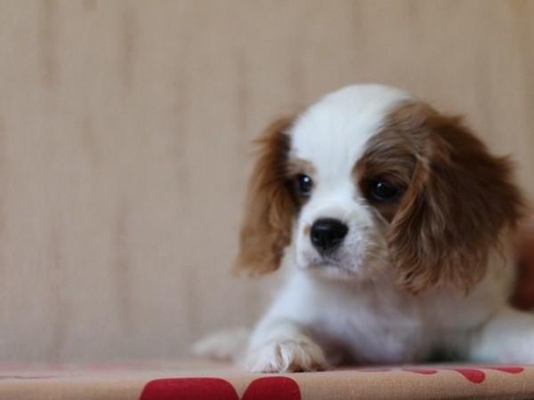 Фотогалерея щенки кавалер кинг чарльз спаниеля фото - 11