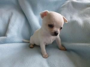Где купить и как выбрать щенка чихуахуа