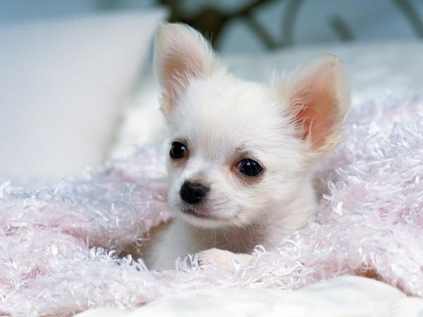 Фотогалерея щенки чехуахуа фото - 3